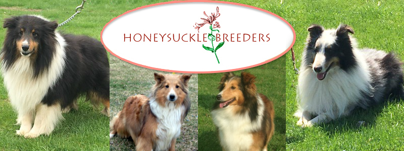 Hand raised sheltie puppies for sale, just a short drive away from PA, MD, NJ, NY, DE, VA, WV, OH.
